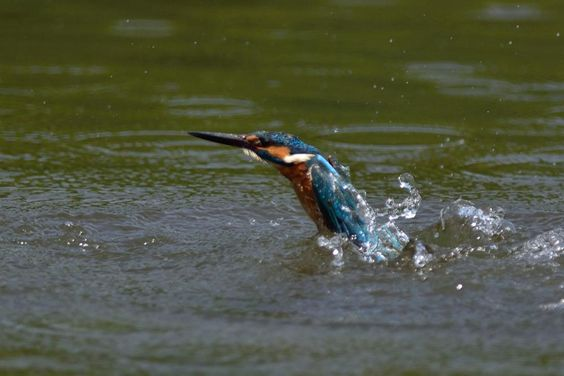 Just Up ! , Kingfisher by Mubi.A