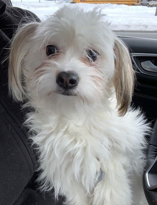 Is This Your Dog Rosemount Bichon Frise Female Date Found 01 07 2020 Breed Of Dog Bichon Frise Gender Female Closest Int In 2020 Dogs Dog Ages Losing A Dog