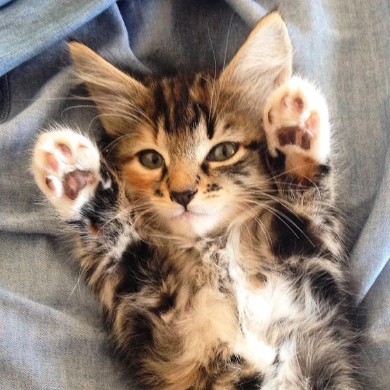 I loooove Maine coon cats so much! See this Instagram photo by @miominori • 15 likes