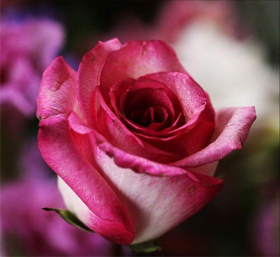 Rosa Pink, Rose, Flor, Romântico, Romance, Amor