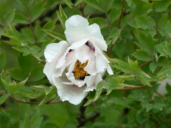 Paeonia rockii, l'espèce-type chérie des collectionneurs