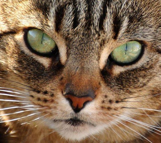 Cómo enseñar a mi gato buenos modales - http://www.notigatos.es/como-ensenar-a-mi-gato-buenos-modales/ #gatos