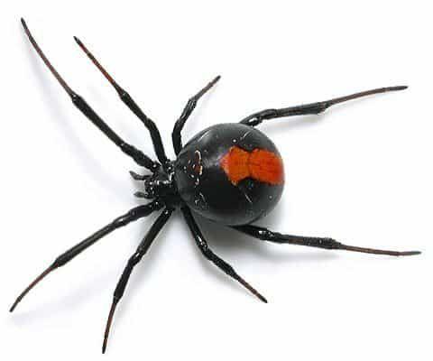 Tipos De Aranhas Venenosas Especies De Aranhas Tipos De Aranhas Aranha Viuva Negra