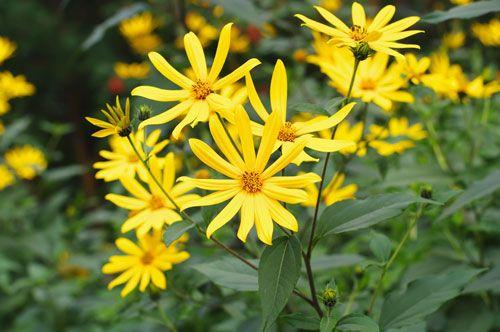Topinambur Pflanzen So Bauen Sie Die Erdartischocke Richtig An Topinambur Pflanzen Pflanzen Topinambur