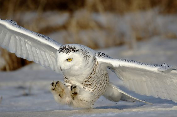 Close Call - Close up of the snowy owl on the hunt.