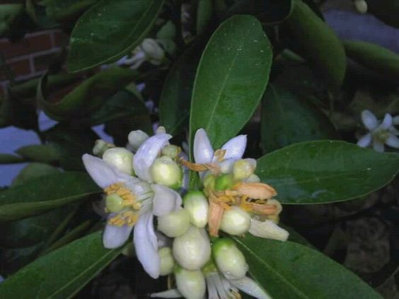 Satsuma Tangerine orange blossoms