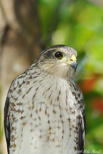Falcon de Sierra