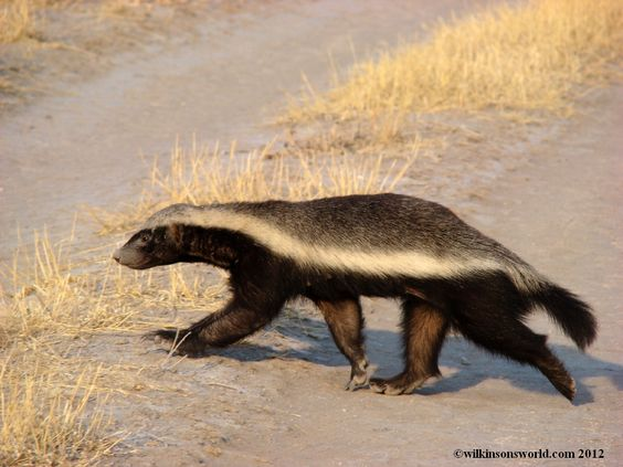 informative honey badger speech If president obama was humbled by the republican sweep of 2014, he didn't show it during tuesday's state of the union speech.