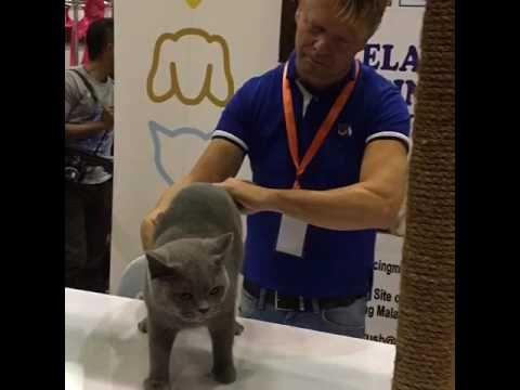 Sabra Cat Israeli Fife Cat Association Keystone Pretty Lady Of Kiralee A British Shorthai Pretty Woman British Shorthair Lady