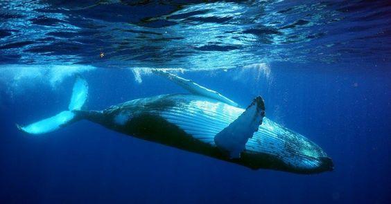 The Dance of #Bermuda #Humpback #Whales 2014 – @whalesbermuda