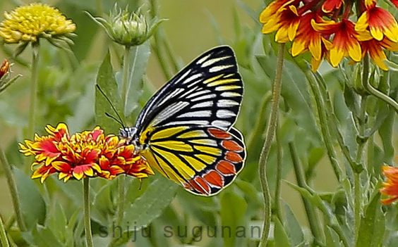 Common Jezebel Butterfly Photo by Shiju