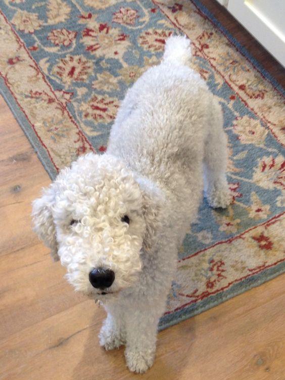 Cooper the bedlington terrier