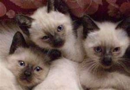 Fotos para Adoção de filhotes de gato siames com 7  e 3 meses