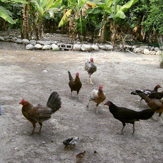 > #Jaraguenses criando gallinas