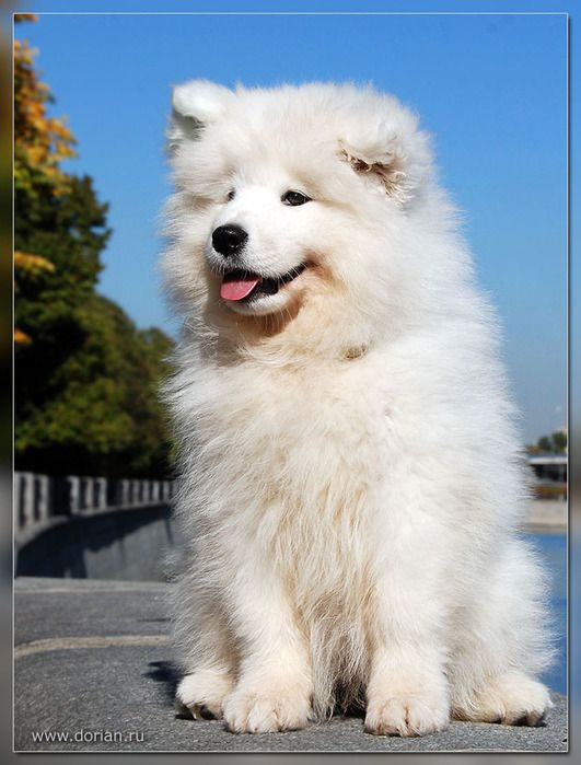 Samoyed. I have found my new son. Can't wait to start looking for a breeder.