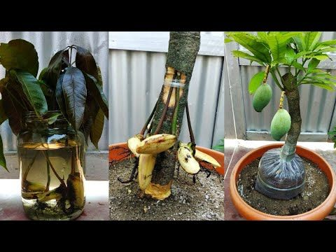 Mangograftingroot Youtube Grafting Potted Fruit Trees Gardening Techniques