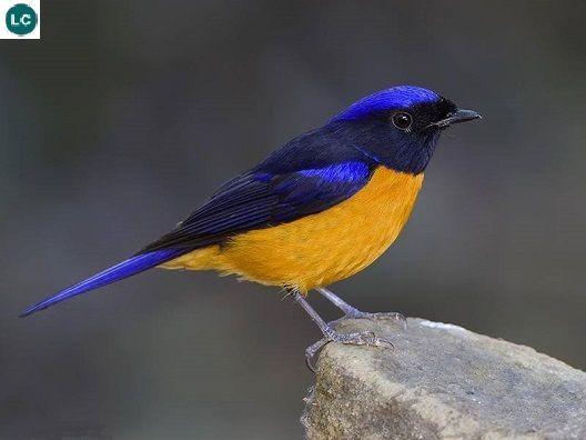 https://www.facebook.com/WonderBirds-171150349611448/ Đớp ruồi Niltava bụng hung; Họ Đớp ruồi cựu thế giới-Muscicapidae/Oll World Flycatcher; Nam Á và Đông Nam Á    Rufous-bellied niltava (Niltava sundara); IUCN Red List of Threatened Species 3.1 : Least Concern (LC)(Loài ít quan tâm)