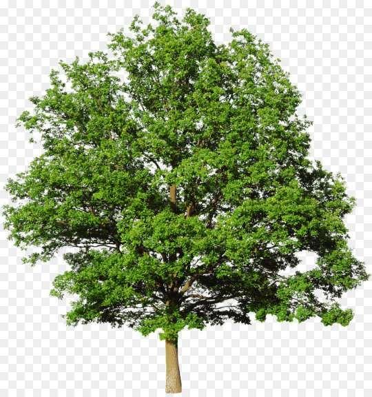 16 Bald Cypress Png Bald Cypress Bald Cypress Tree Family Tree Background
