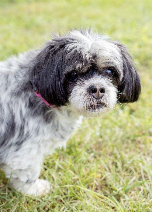 Lost Dog Have You Seen Bella Lostdog Bella Margate Royal Palm Rock Island Bella Female 754 308 2330 Fl 33063 Losing A Dog Dogs Losing A Pet