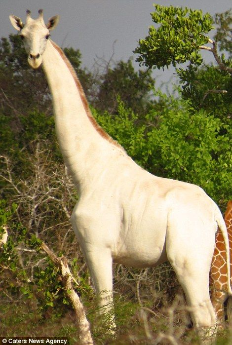 Incredible images have emerged showing a rare white giraffe with no markings on its body g...