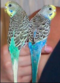 Los periquitos son fáciles de cuidar si sigue estos consejos   -   Parakeets Are Easy to Care For if You Follow These Tips