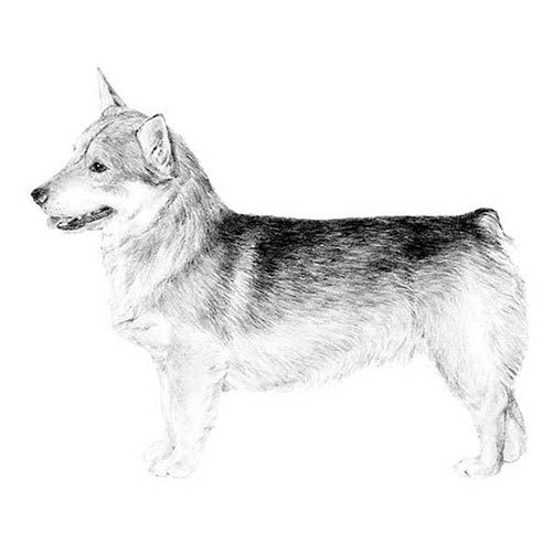 Swedish Vallhund Dog Breed Information Dog Breeds Akc Breeds