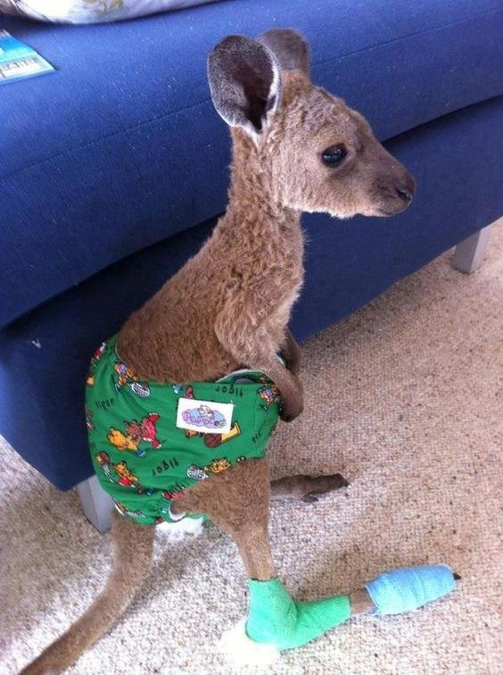 This poor kangaroo is so adorably cute I can't stop looking at him. He's wearing underoos!: