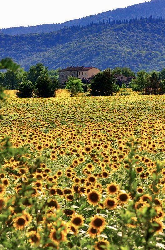 Tuscany #Field #Sunflowers #Toscana #Campo #Girasoli #Yellow ...