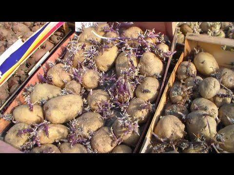 Высокий урожай картофеля, способ выращивания. - YouTube