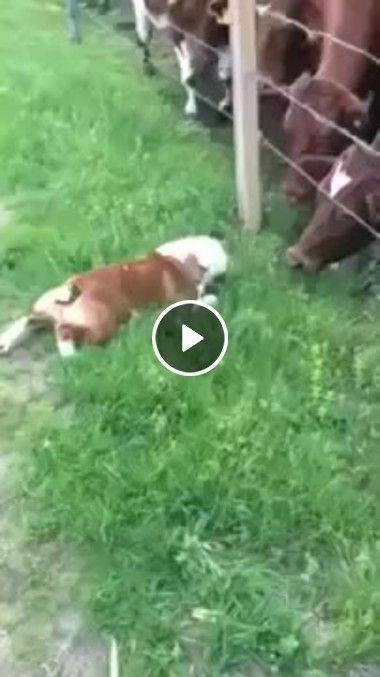 Cachorro fazendo amizade com as vacas