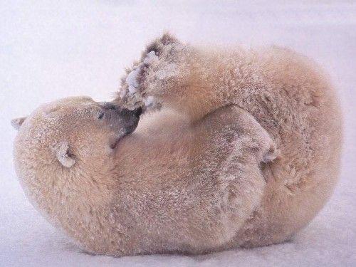 Polar Bear yoga?