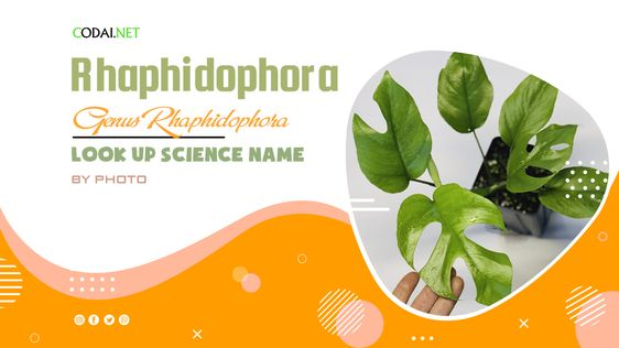 Look up Science Name by Photos: All species from genus Rhaphidophora