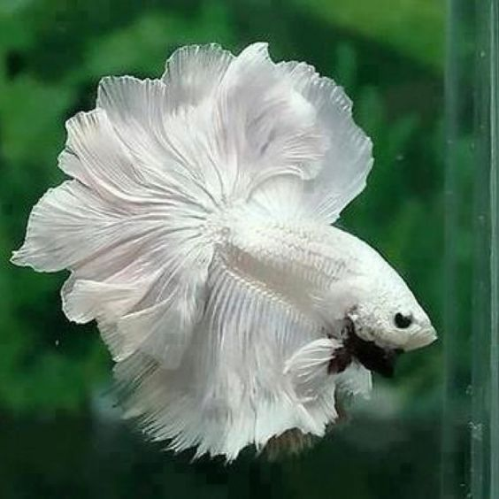 Betta, White dragon and Beautiful on Pinterest