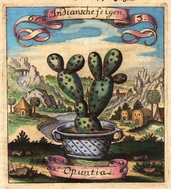 Merian, Matthaeus   Indianische Feigen [Pflanzenkupferstich]  Handcolored copper-engraving by M. Merian published first 1646 in der 'Fruchtbringenden Gesellschaft Nahmen'. Frankfurt, A. Heinscheidt 1719.