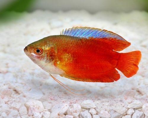 Red Dwarf Gourami Tropical Fish Hardy And Peaceful Community Fish Tropical Fish Fresh Water Fish Tank Tropical Fish Aquarium