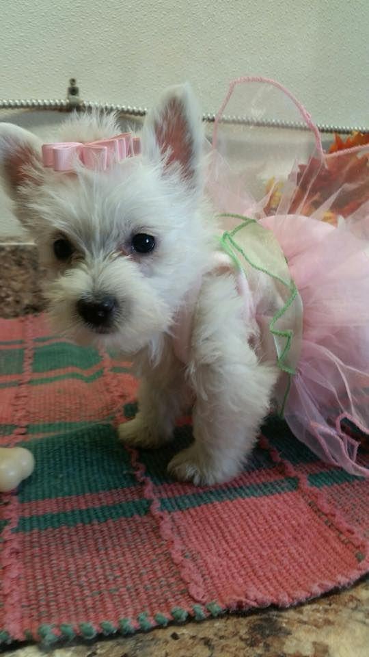 Fiona 9 Weeks Old Westie Dogs Westie Puppies Cute Little Dogs