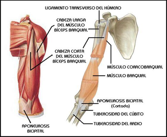Triceps Braquial Músculos Del Brazo - BrowserHelp