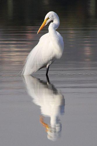 Garça-branca-grande em Lagoa Santa - MG.