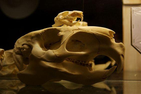 Guinea pig and capybara skulls