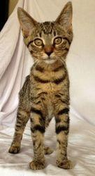 Petfinder Adoptable Cat | Domestic Short Hair | Green Bay, WI | Hattie