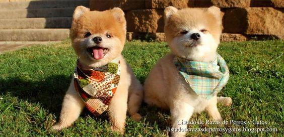 Foto de dos perros Pomerania en el jardín. Perros miniatura tomando el sol. Raza de perro (Photo of dogs Pomerania in the garden. Miniature dogs sunbathing. Breed of dog).