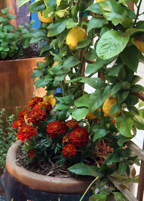 Grow Some Tangy Citrus In Your Container Garden | Gardening | Pinterest | Gardens Trees And Posts