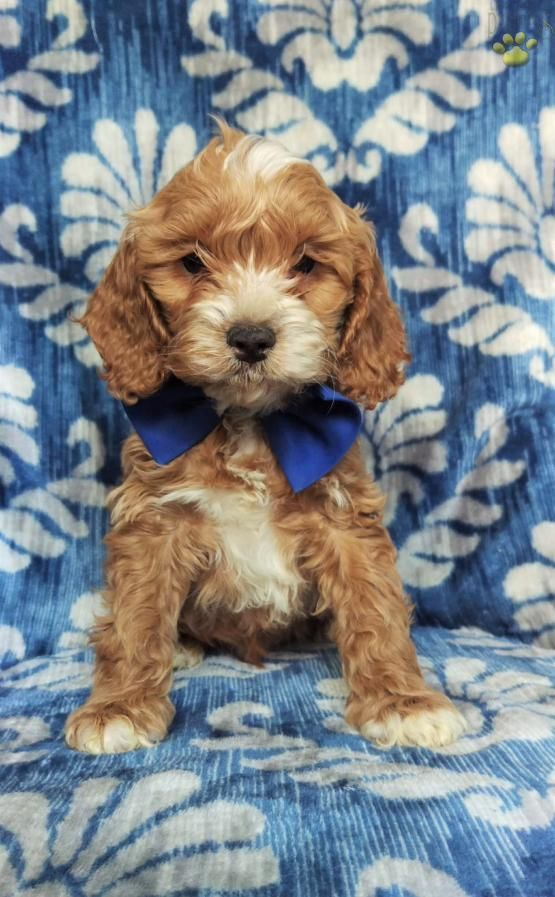 Garrett Cockapoo Puppy For Sale In Myerstown Pa Lancaster