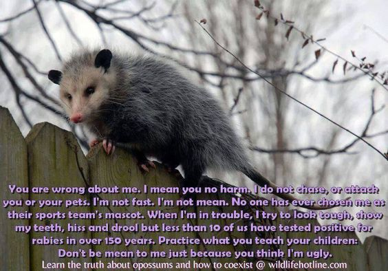 BIRDS & DAFFODILS: POSSUM: DON'T BE MEAN TO ME JUST BECAUSE YOU THINK I'M UGLY: