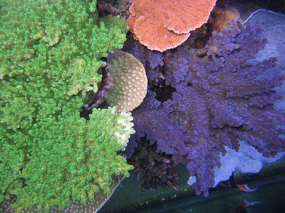 "Gary Majchrzak's SPS-Dominated ""Junior's Reef"" Aquarium"