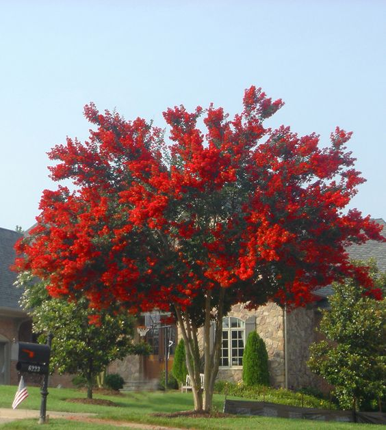 Drought tolerant red and the o 39 jays on pinterest for Drought tolerant trees