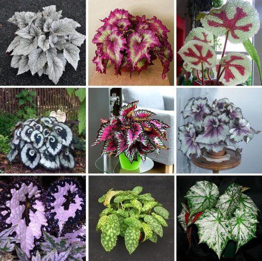 Multi Varieties Begonia Flower Seeds 100pcs Pack In 2020 Flower Seeds Begonia Flowers