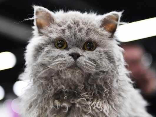Beautiful Selkirk Rex Kitten Cats For Sale Selkirk Rex Kittens Selkirk Rex Cats For Sale