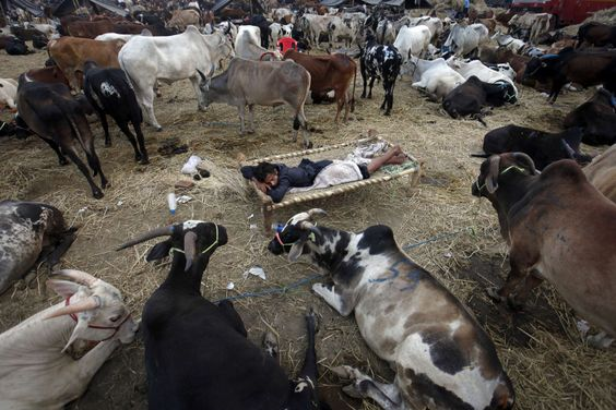 Oct. 23, 2012. A man sleeps among his cattle at a livestock market before the Eid al-Adha festival in Mumbai. Muslims around the world celebrate Eid al-Adha by slaughtering sheep, goats and cows to commemorate Prophet Abraham's willingness to sacrifice his son Ismail on God's command.