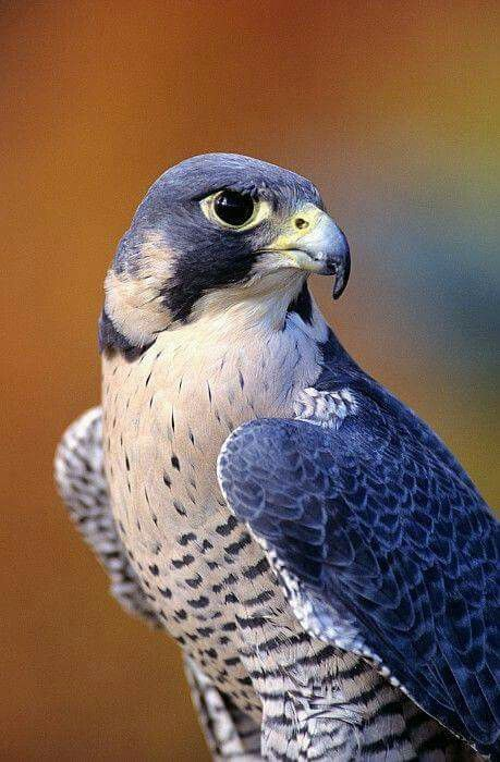 closeup of an adult male peregrine falcon, photo by John Hyde. The peregrine falcon (Falco peregrinus), also known as the peregrine, and historically as the duck hawk in North America, is a widespread bird of prey in the family Falconidae. A large, crow-sized falcon, it has a blue-grey back, barred white underparts, and a black head.